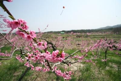 복사꽃마을